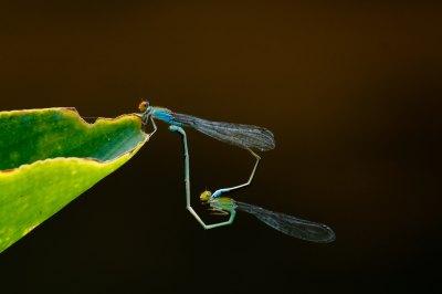 animal mating